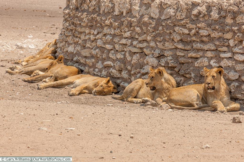 A pride of resting lions, Etosha, Namibia