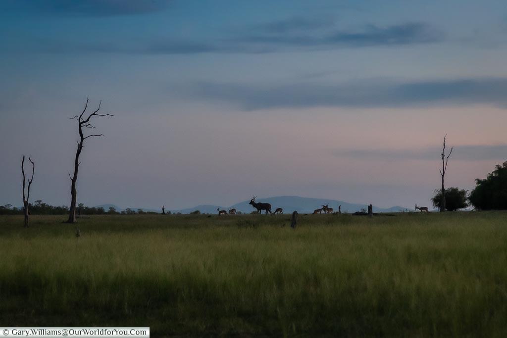 Antelopes at Sundown, Sundown safari drive, Rhino Safari Camp, Lake Kariba, Zimbabwe