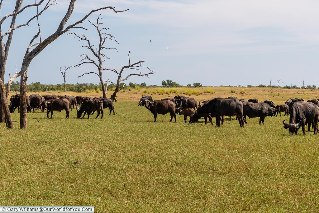 Buffalo from the truck, Bush Walk, Rhino Safari Camp, Lake Kariba, Zimbabwe