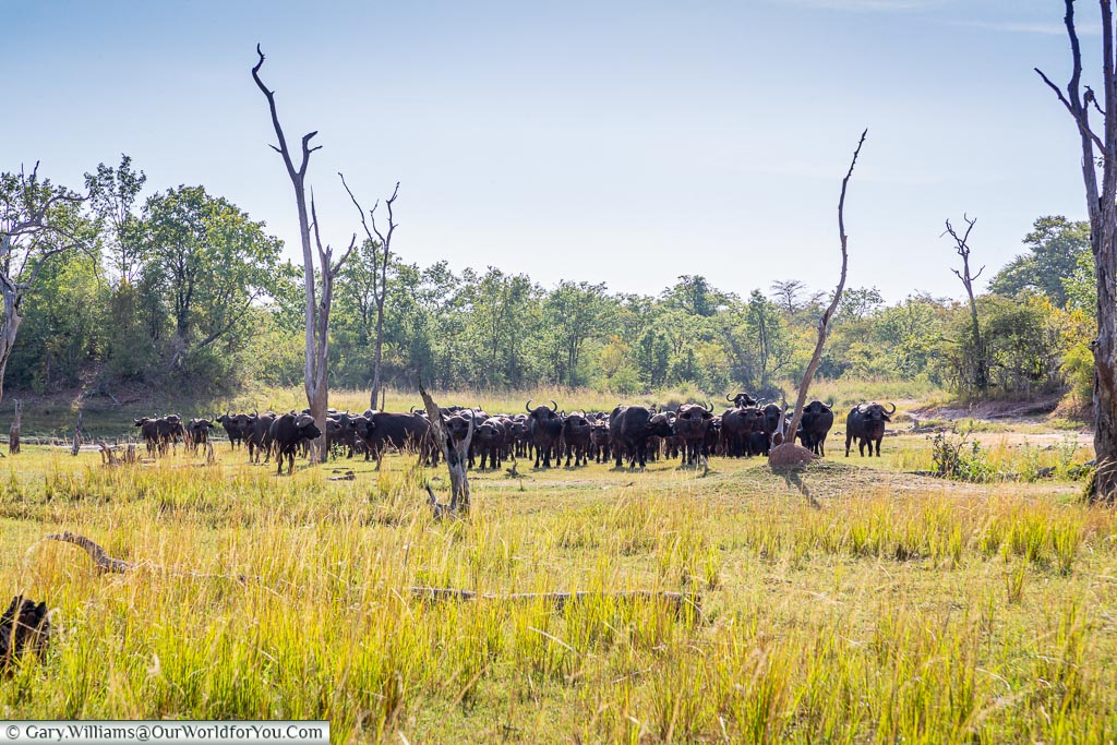 Buffalo watching us, watching them, Bush Walk, Rhino Safari Camp, Lake Kariba, Zimbabwe