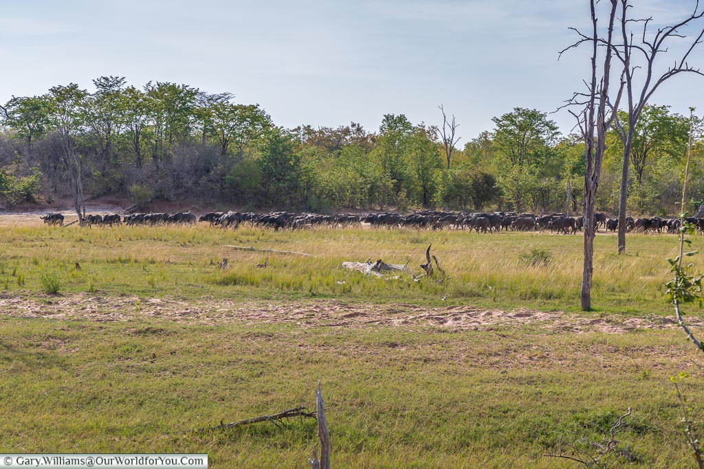 Herd of buffalo, Bush Walk, Rhino Safari Camp, Lake Kariba, Zimbabwe