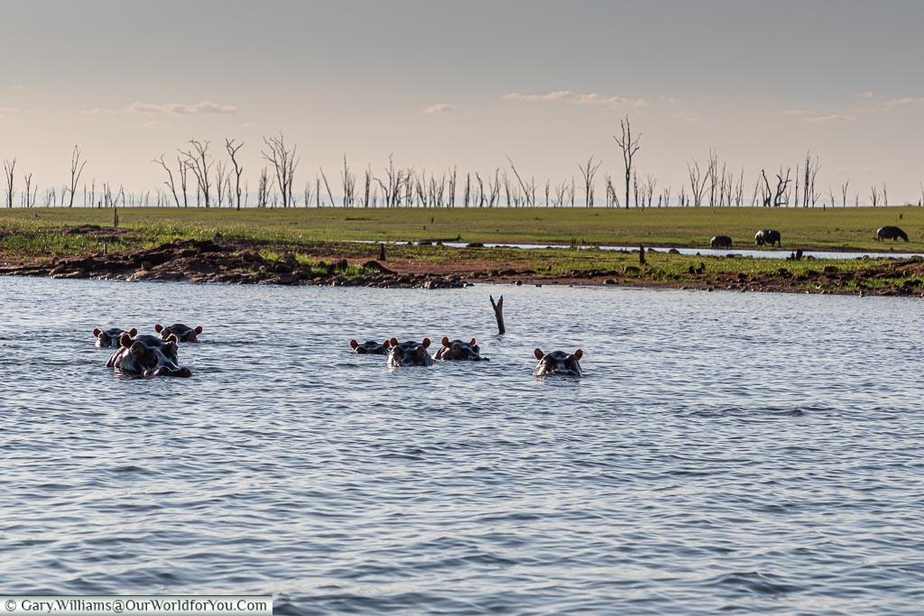 Hippo's watching us, Sundowner cruise, Rhino Safari Camp, Lake Kariba, Zimbabwe