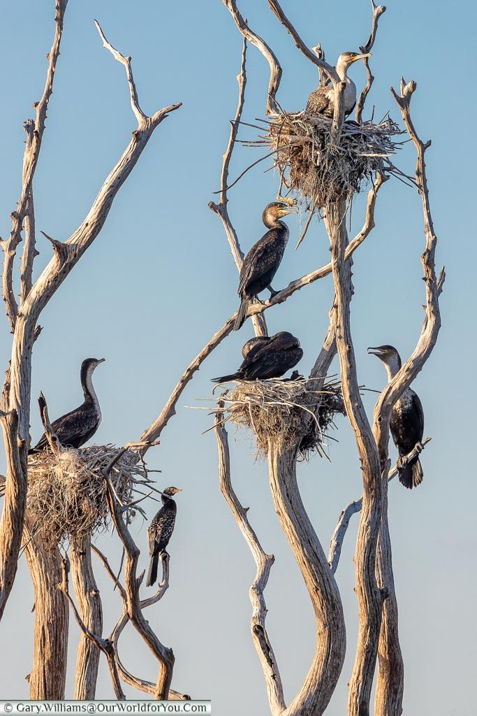 Home for the White-breasted cormorants, Sundowner cruise, Rhino Safari Camp, Lake Kariba, Zimbabwe