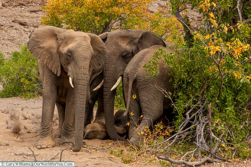 Huddled around, desert elephants, Kunene Region, Namibia