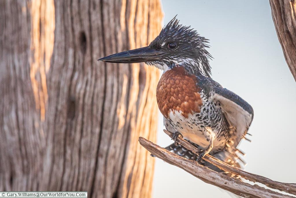 Kingfisher after having a dip, Sundowner cruise, Rhino Safari Camp, Lake Kariba, Zimbabwe