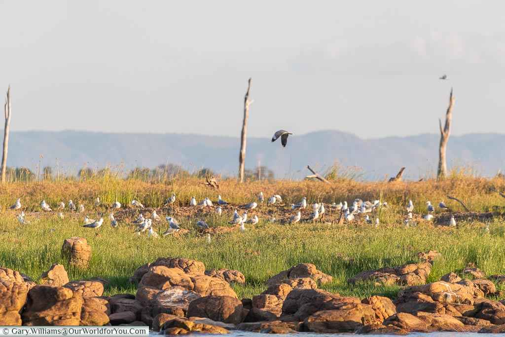 Nesting Grey-headed Gulls, Sundowner cruise, Rhino Safari Camp, Lake Kariba, Zimbabwe