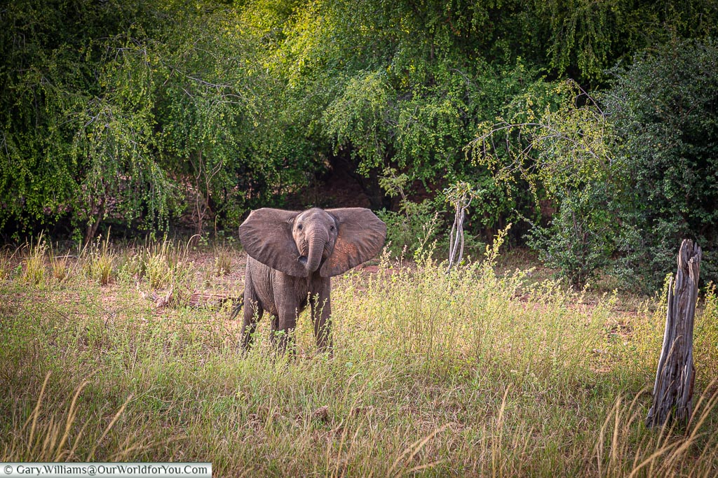 Suprised young elephant, Bush Walk, Rhino Safari Camp, Lake Kariba, Zimbabwe