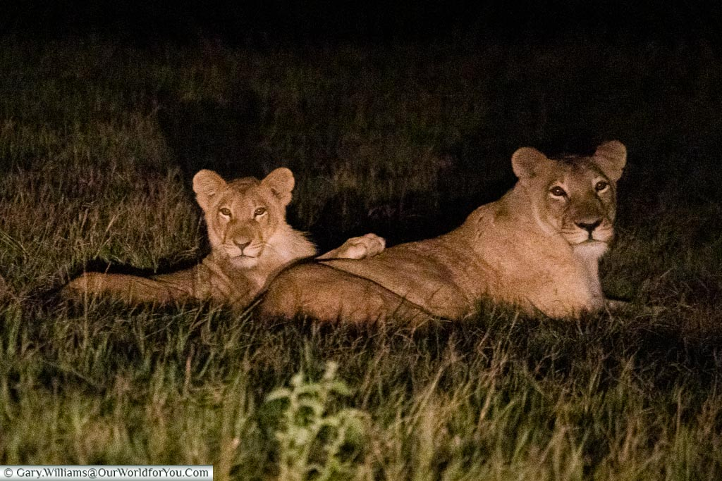 A lioness and her cub laying in the grass.  They watching us watching them.