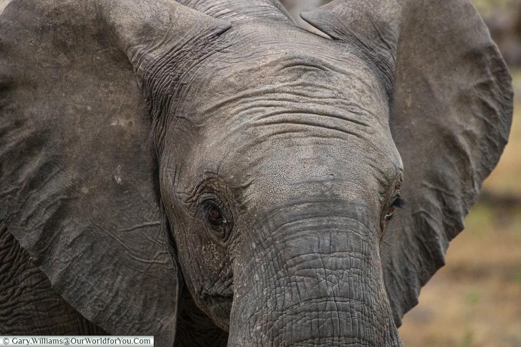 A close up of a young elephant.  Its head fills the frame, and you can see the texture of its skin.