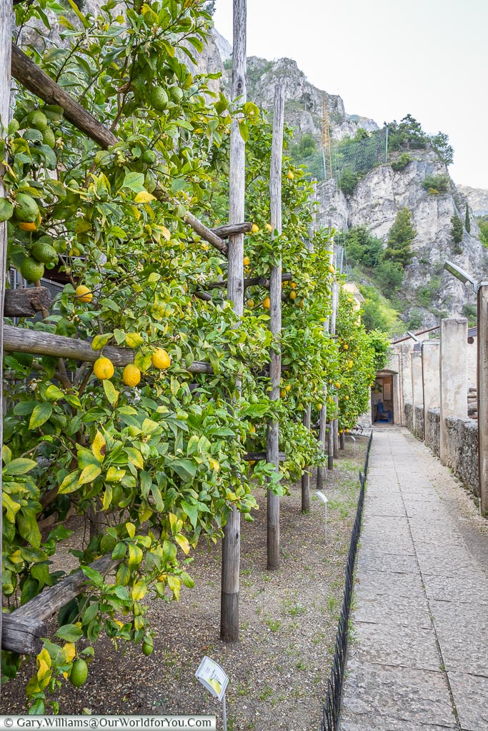 A row of lemon bushes to the left and a path to the right through the Lemon House.