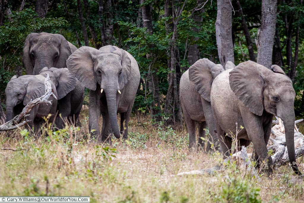 A group of five elephants entering a clearing made up of four juveniles plus an older female at the rear.