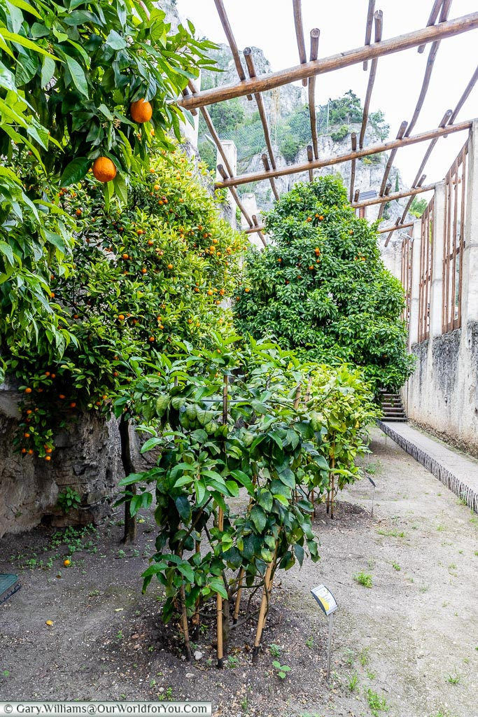 A view of the orange trees in the Lemon House full of fruit.