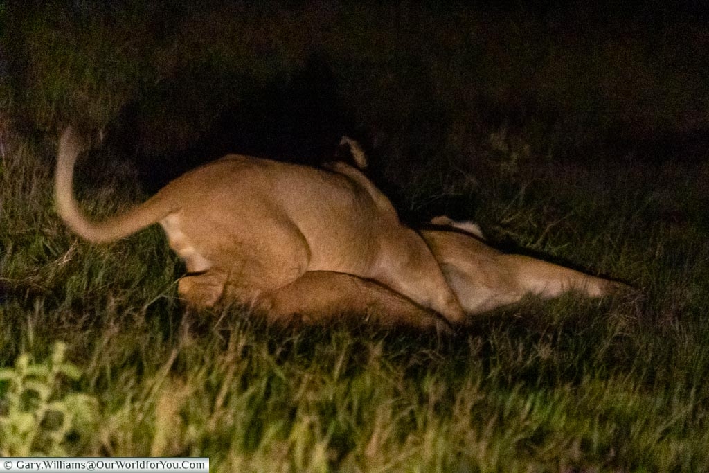 A lion cub playing wit it's moth in the grass, lit by the safari trucks headlights.