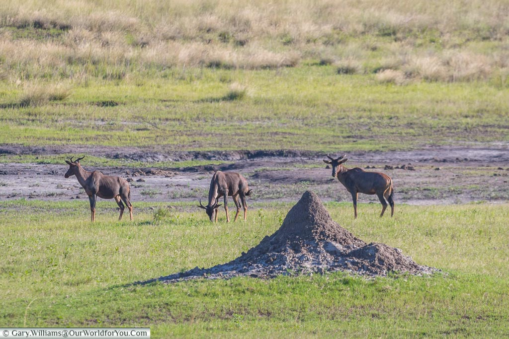 A group of 3 Tesebee antelope grazing in front of a small termite mound.