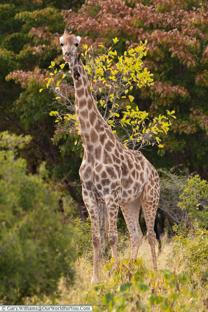 A full-length view of the giraffe who has now spotted us, and is looking straight at us.