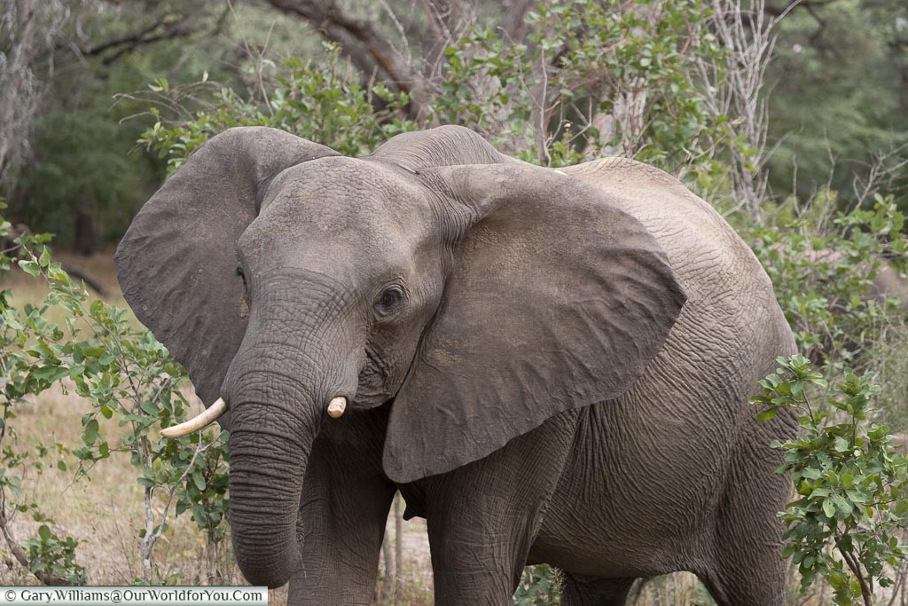 An elephant walking through the bush with its ears flared and a broken tusk.