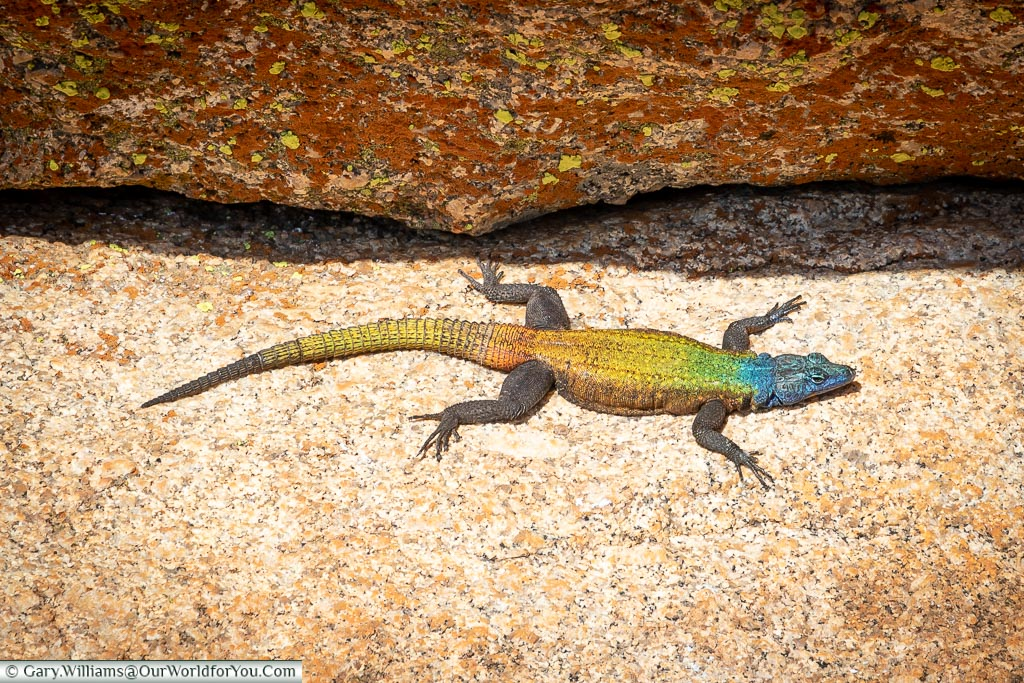A colourful lizard, the Agama Lizard, with a blue head flowing into a green/yellow back that then travels onto orange and yellow tail.