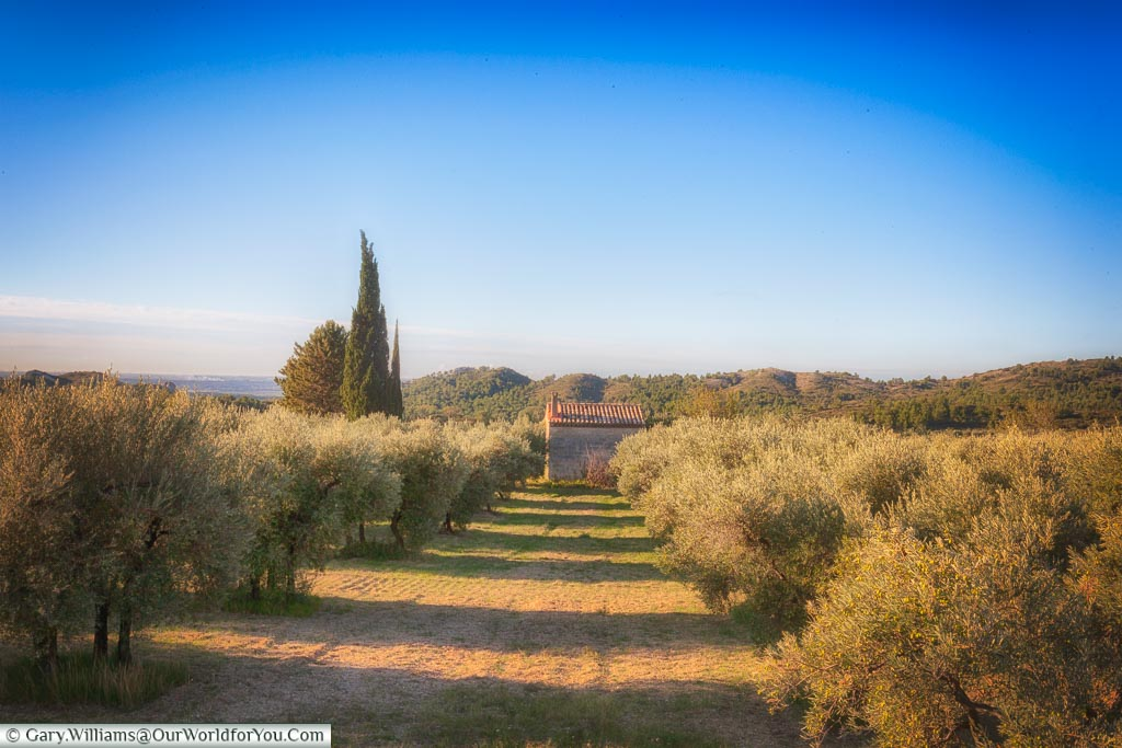 Two rows of olives tree in the countryside of Provence, with a stone hut in the distance.
