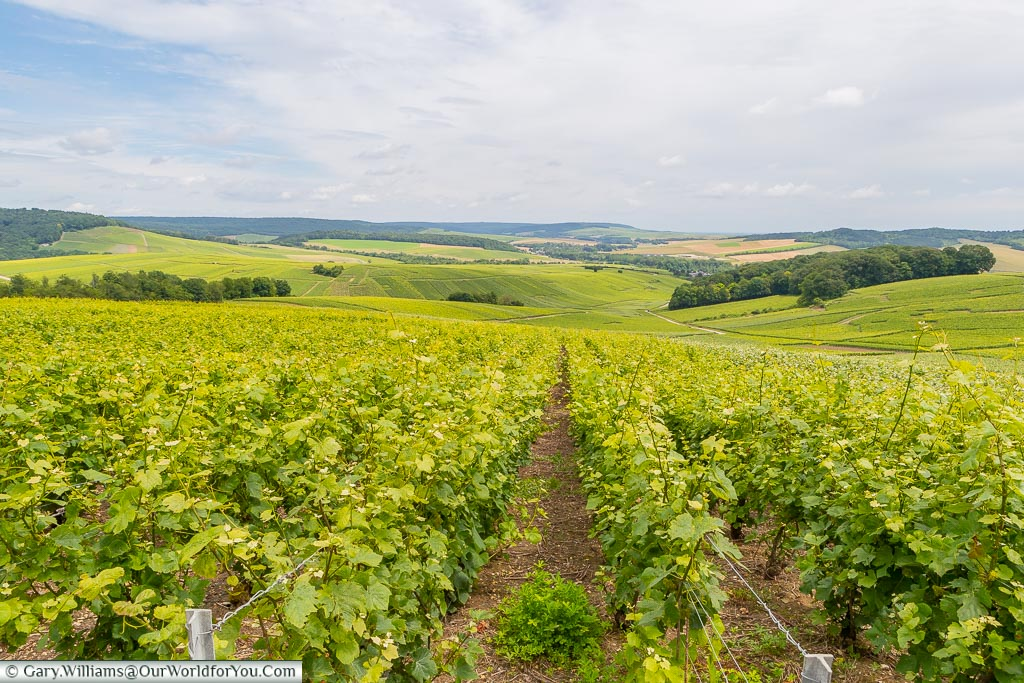 Standing at the edge of a vineyard, overlooking a landscape dominated by vineyards as far as the eye can see.