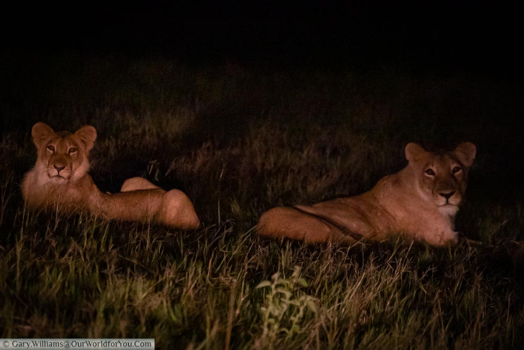A lioness & her cub resting amongst the grass after the sun has gone down.  Our guide has positioned the safari truck with its headlamps illuminating the pair.