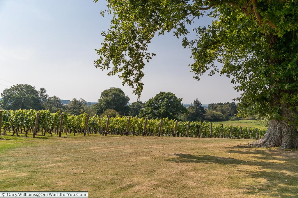 A view of the giant oak next to one of the plots in Chapel Down.  This ones vines are producing the Bacchus variety.