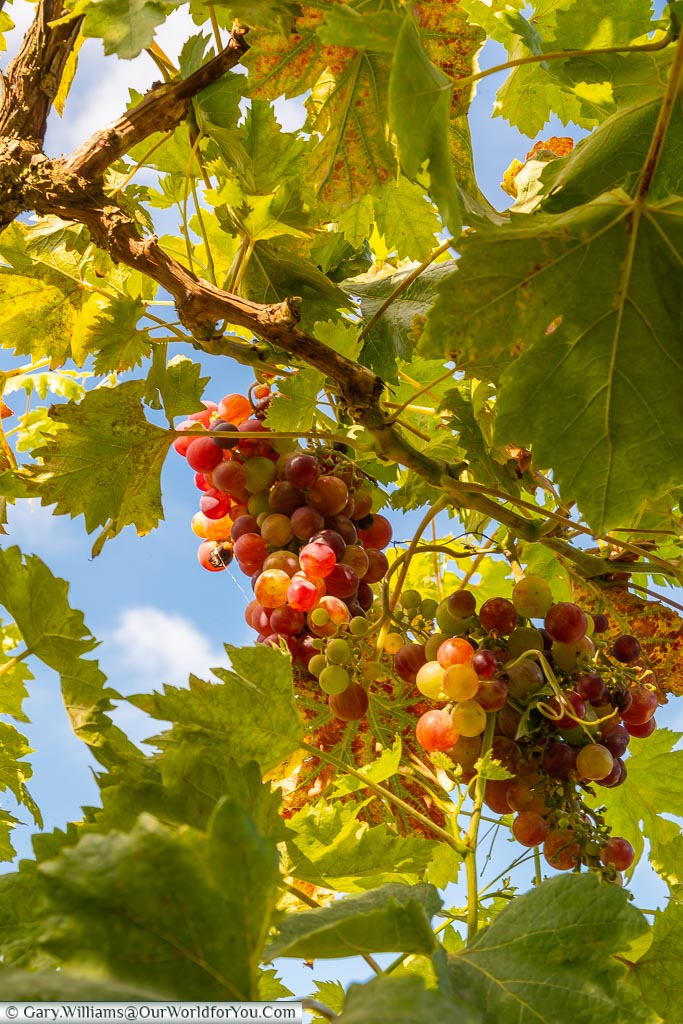 Looking up at bunches of grapes growing on a vine.
