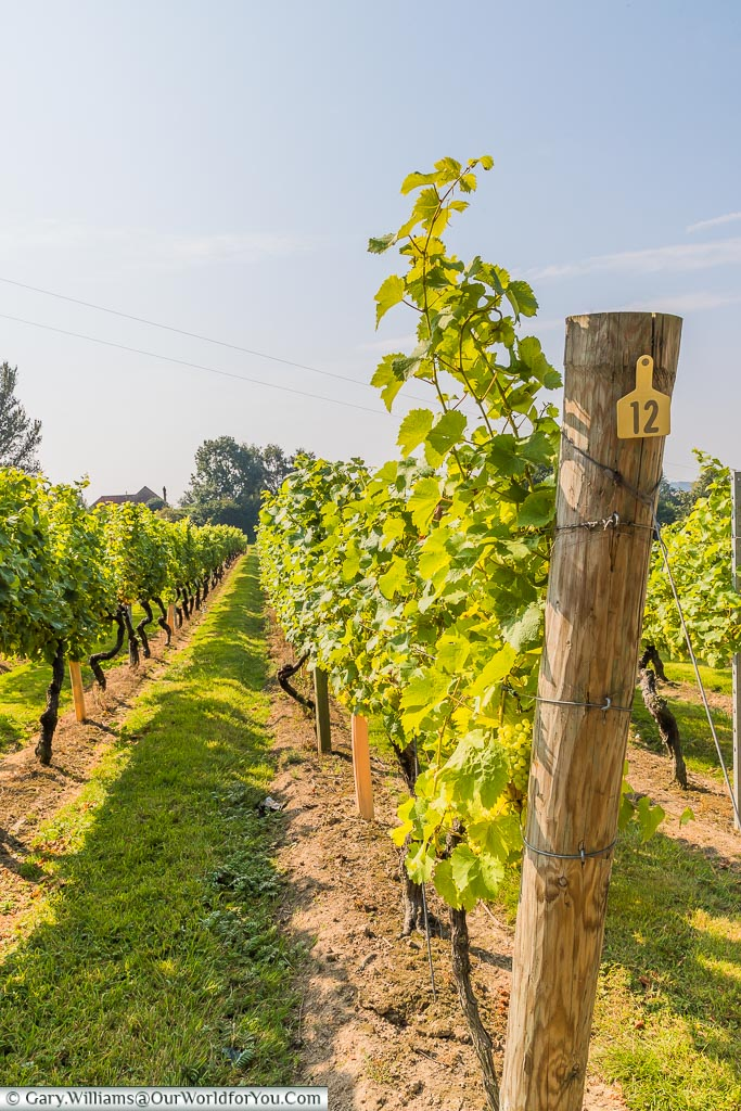 Row 12 of the Bacchus vines, in one of the vineyard at Chapel Down.