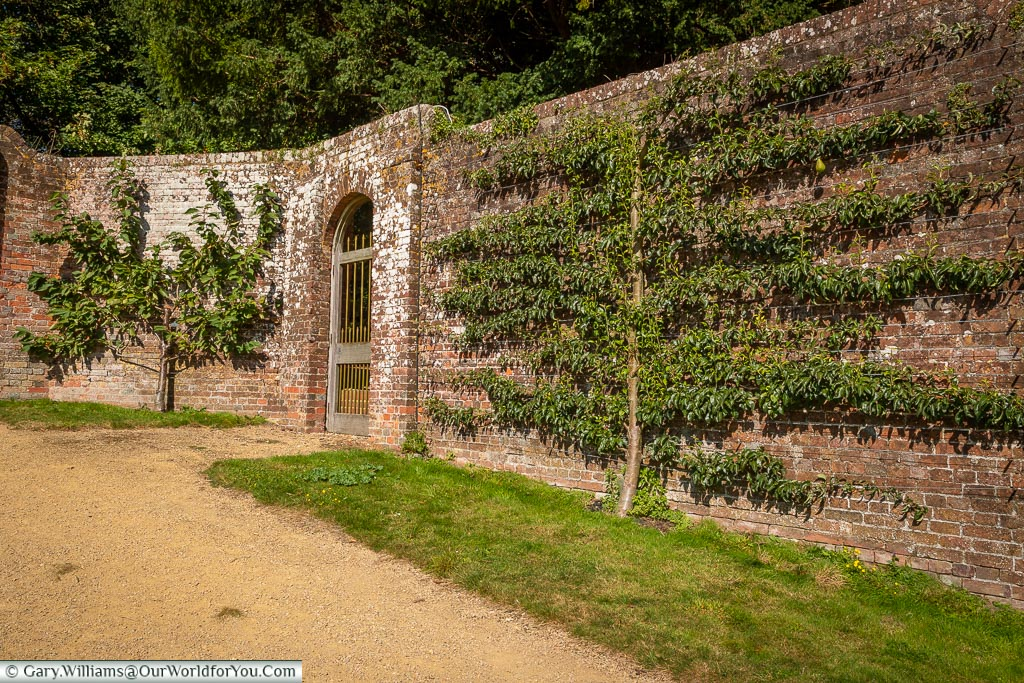 A pear tree espaliered against the edge of the walled garden.