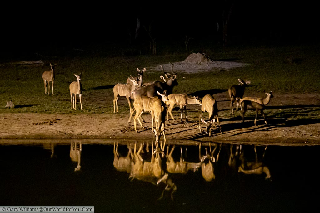 A group of Impala at the spotlit watering hole late in the evening.