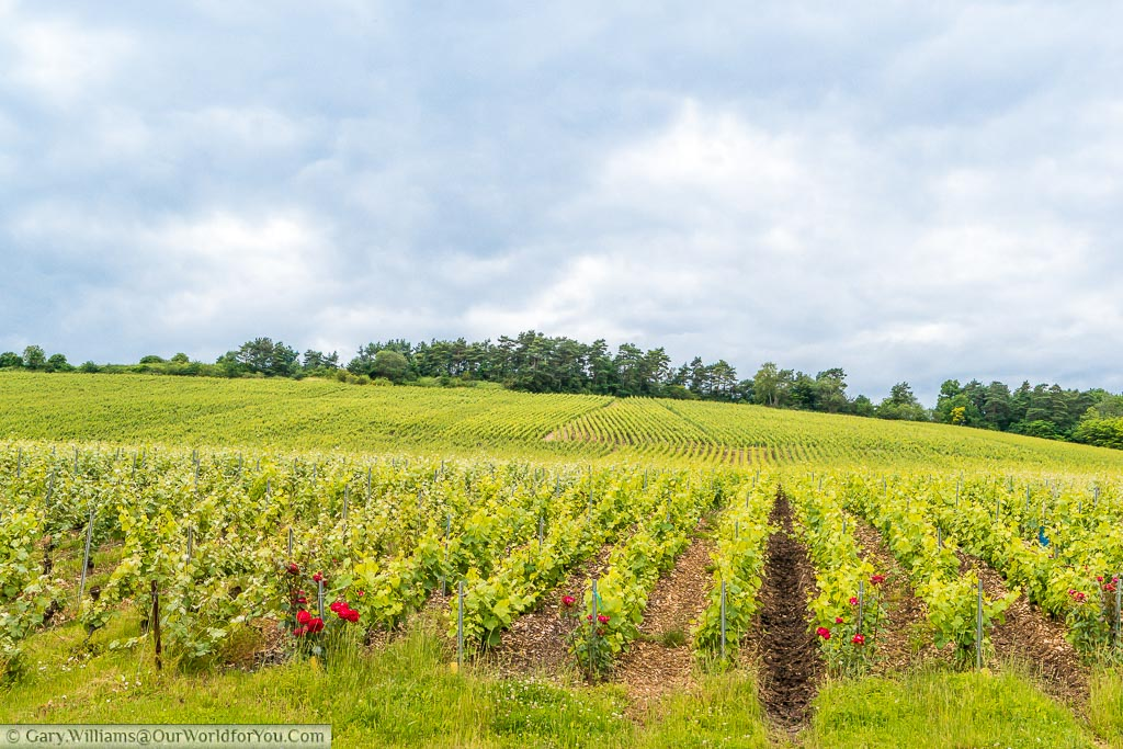 A view of young vines growing in the champagne region of France and you can clearly see red roses at the end of each row placed there to aid pollination