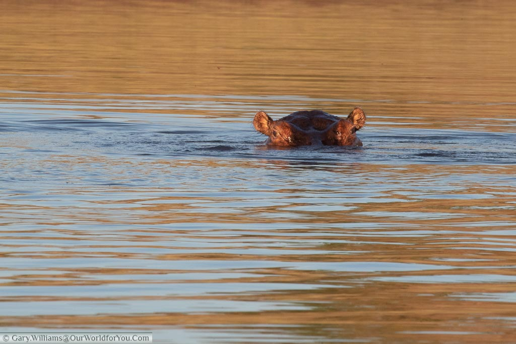 The eyes and ears on the top of the head of a lone hippo in the waters of Lake Lariba in Zimbabwe.
