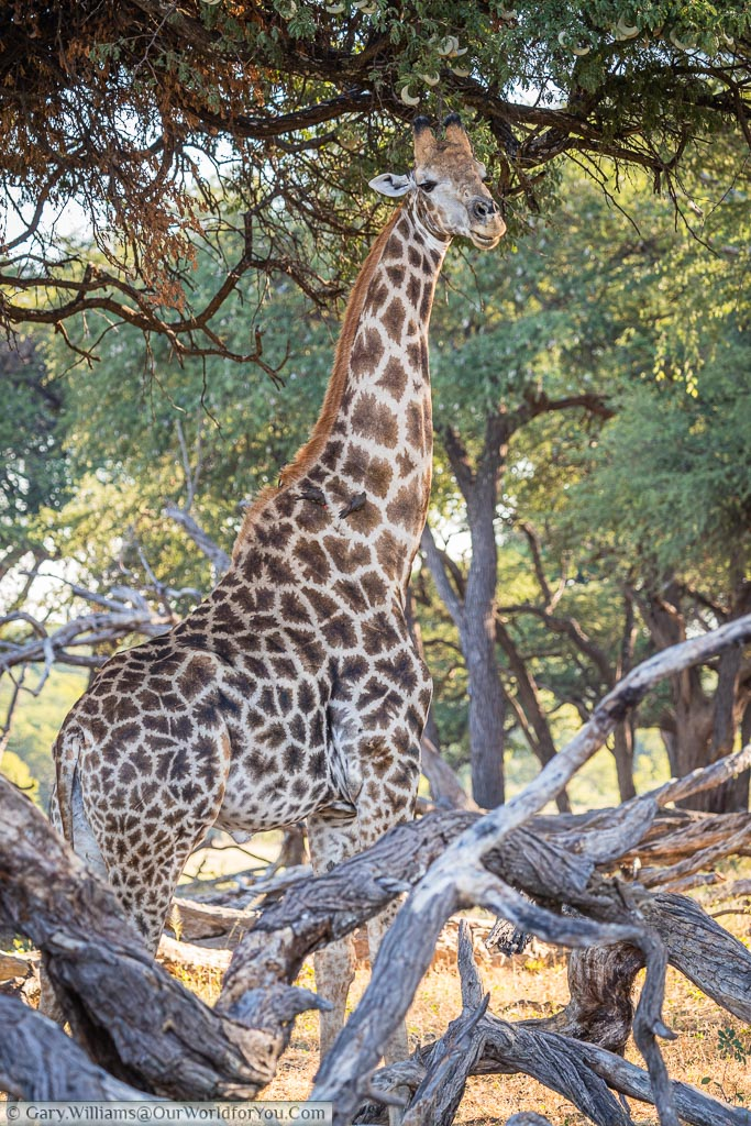 A lone giraffe in an acacia glade with dead wood in the foreground.