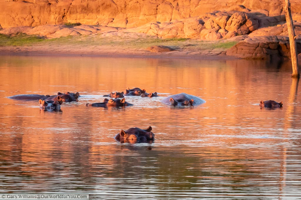 A pod of hippo's, predominantly submerged under the water, at an inlet on Lake Kariba at dusk as the sun goes down