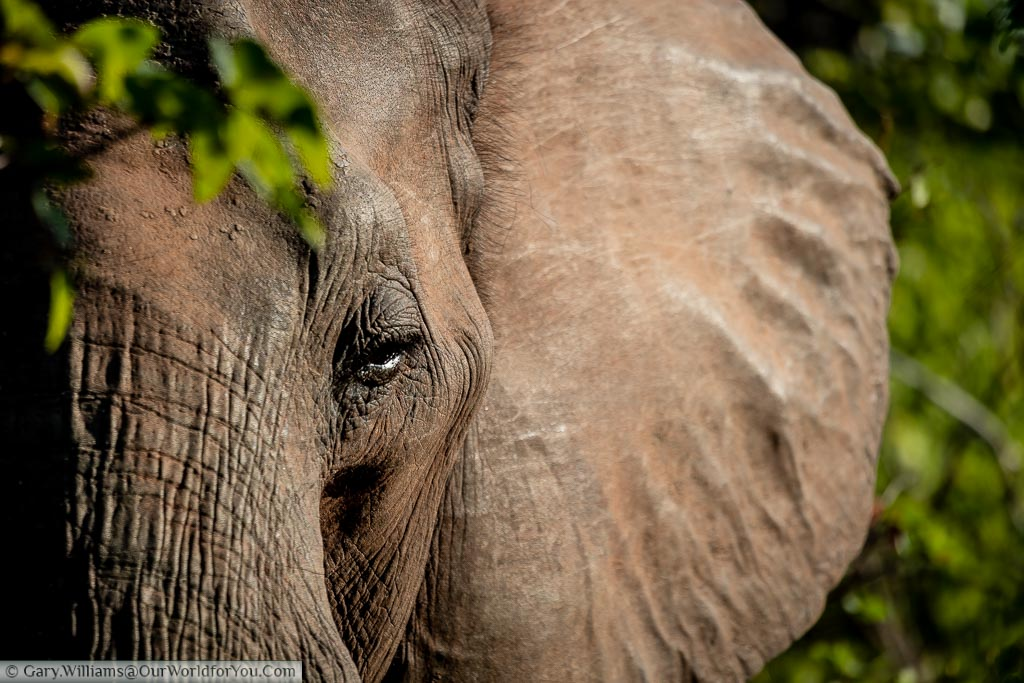 A close-up of a lone, male, bull, elephant in the Bush in Zimbabwe. The shot focuses on the upper part of the trunk, the eye, and part of his huge ear