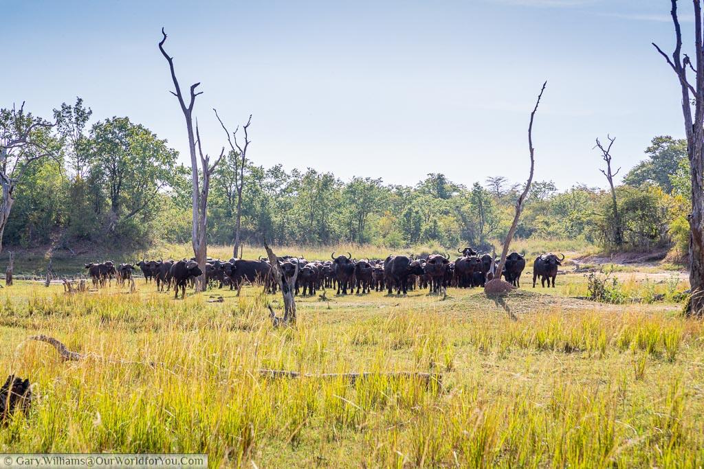 Standing facing a herd of Buffalo on our walking safari at Rhino Safari Lodge on Lake Kariba.