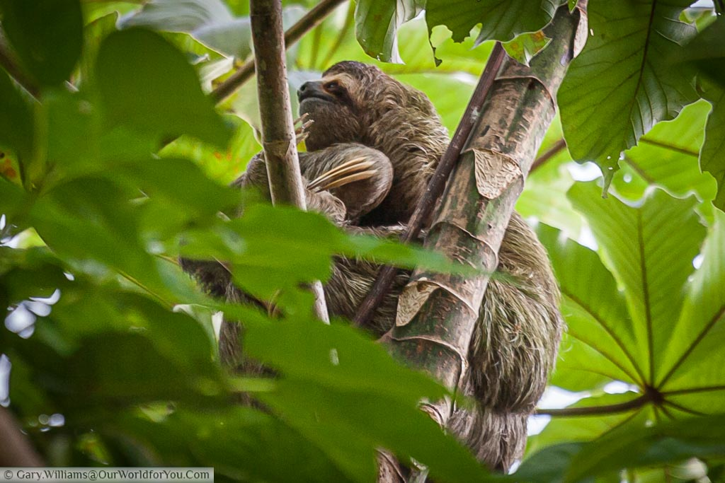 A 3 toed Sloth hiding in the canopy of the bush in the grounds of our hotel in Manuel Antonio , Costa Rica