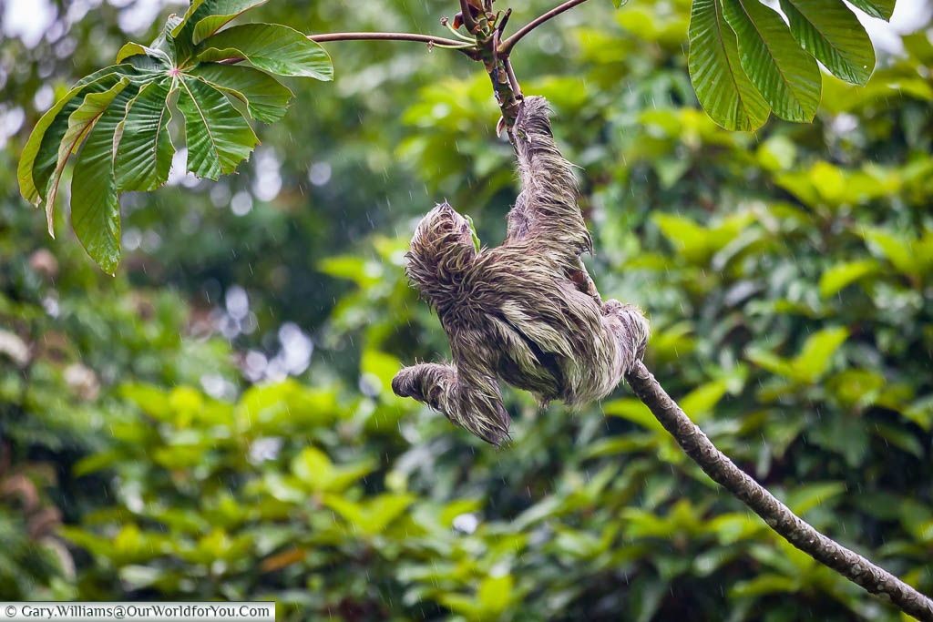 A sloth hanging from the branch of a tree as the rain falls in Tortuguero, Costa Rica