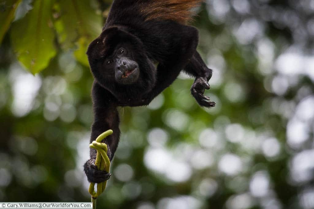 A mantled howler monkey hanging from the branch of a tree as it tries to gather a bunch of seed pods in Tortuguero, Costa Rica