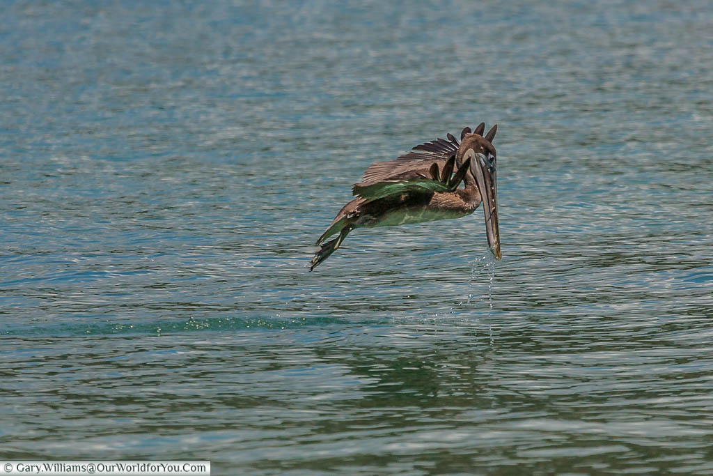 A Brown Pelican flying inches above the water, its bill down, dripping with water after it had taken a scoop out of the water in the bay by Playa Biesanz, Manuel Antonio, Costa Rica