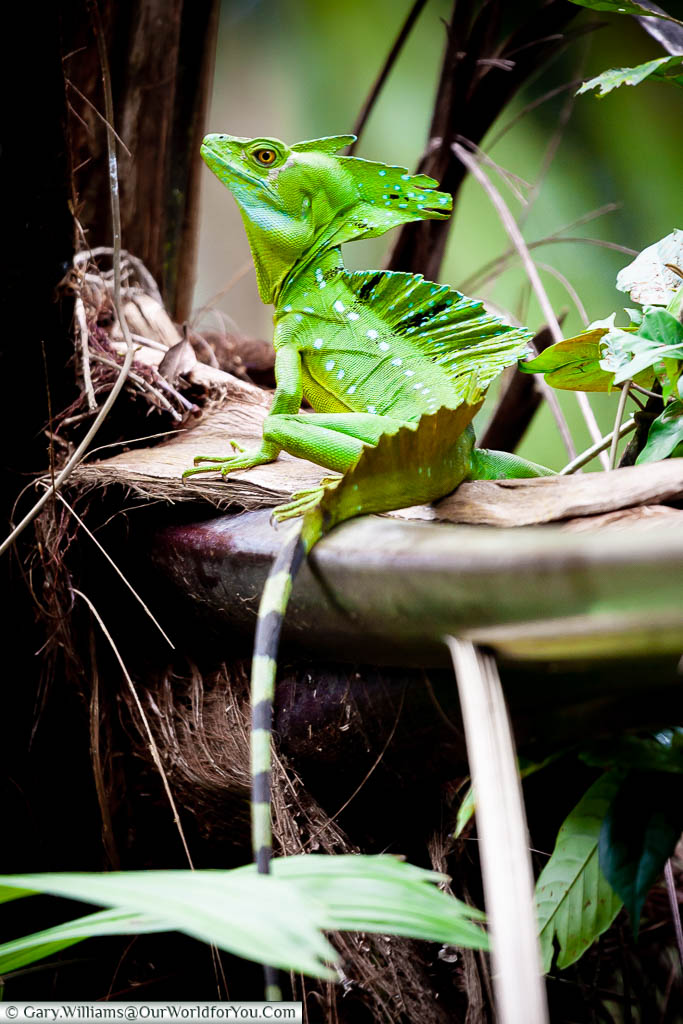 A Green Basilisk lizard resting on the branch of a tree, within the forest of Tortuguero, Costa Rica