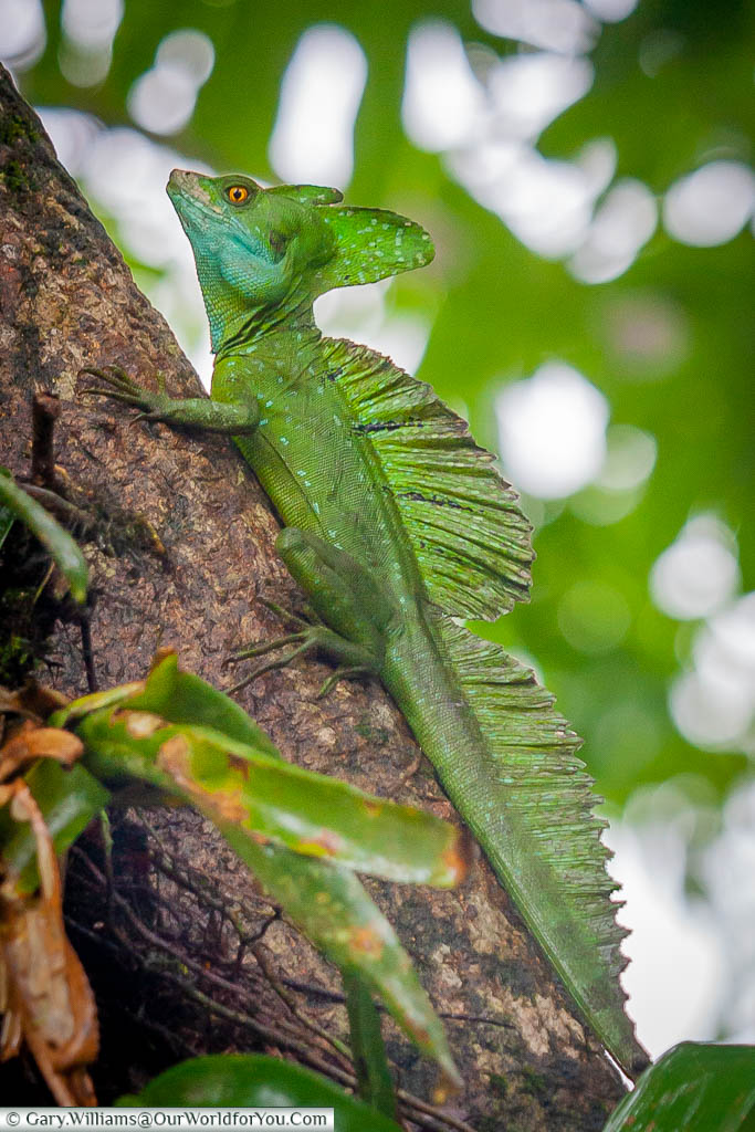 A Jesus Christ Lizard, or Green Basilisk, climbing up an angled tree trunk in Tortuguero, Costa Rica.