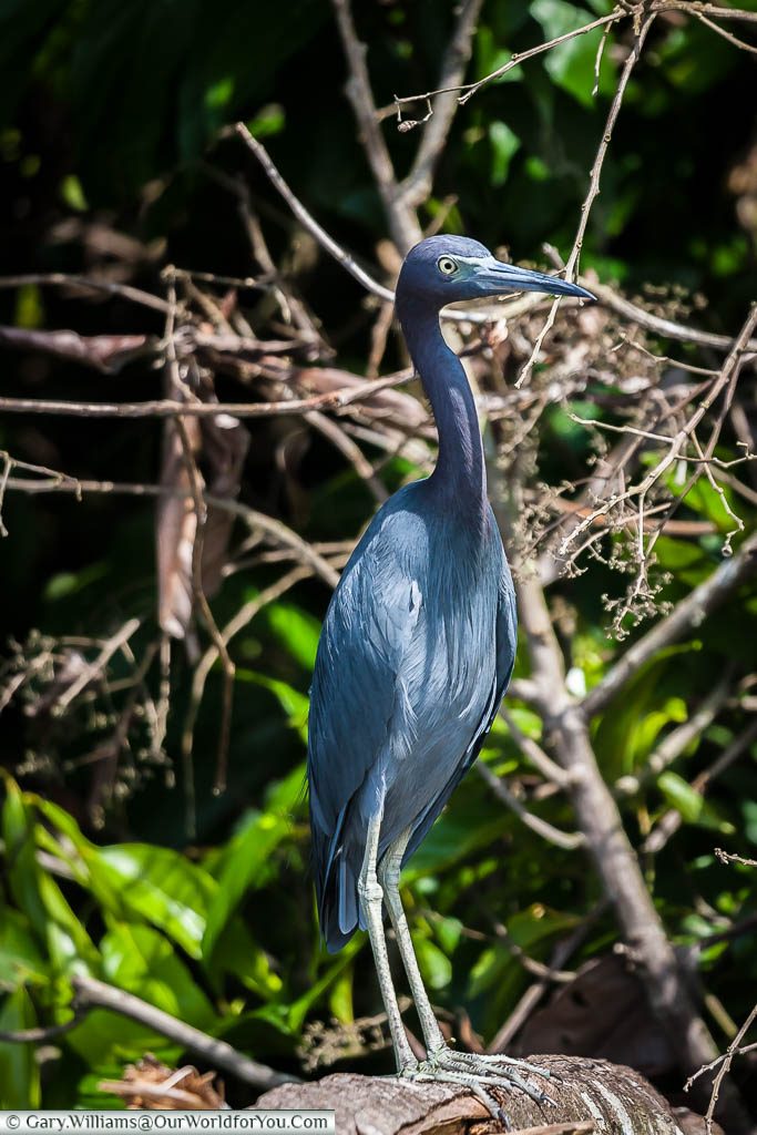 A Blue Heron standing at the water's edge in the lagoon at Tortuguero, Costa Rica