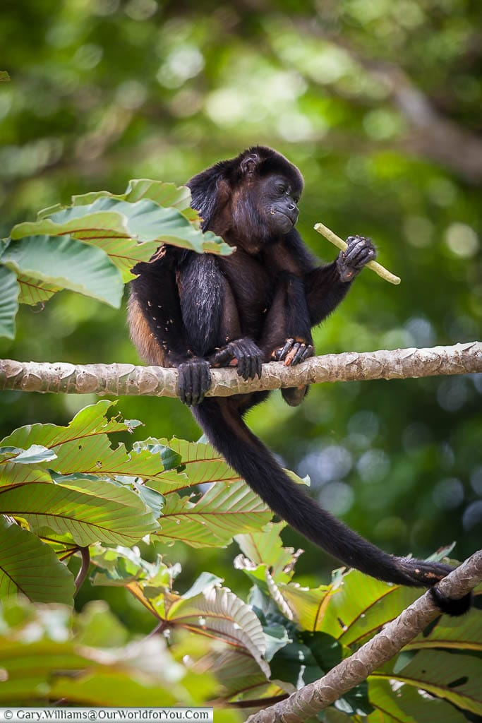 A mantled howler monkey about to eat a seed pod, high in the vegetation of Tortuguero, Costa Rica