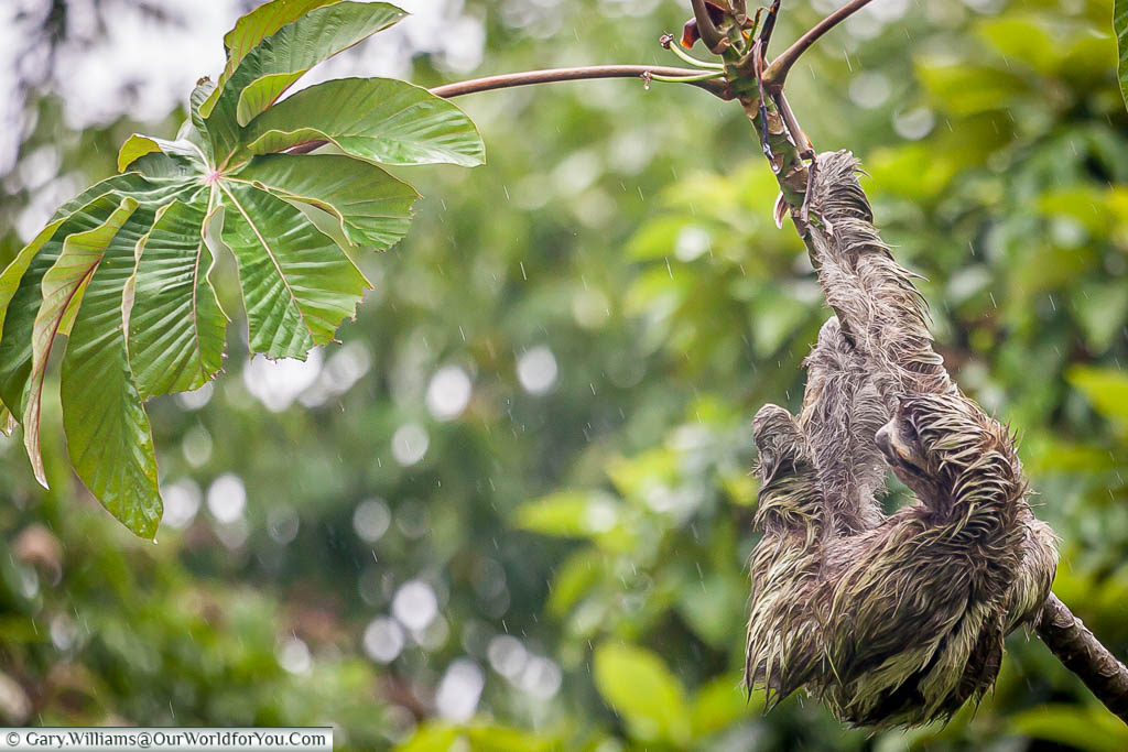 A soaked Sloth, clinging to a branch, as the rain pours down on a wet day in Tortuguero, Costa Rica