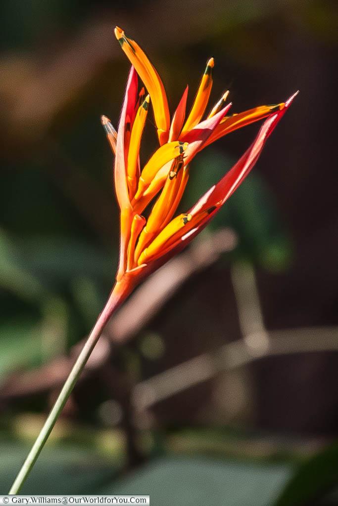 A beautiful orange flower, caught in the sunlight while walking around Manuel Antonio, Costa Rica