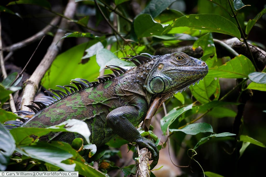 An iguana moving through the forest of Tortuguero, Costa Rica