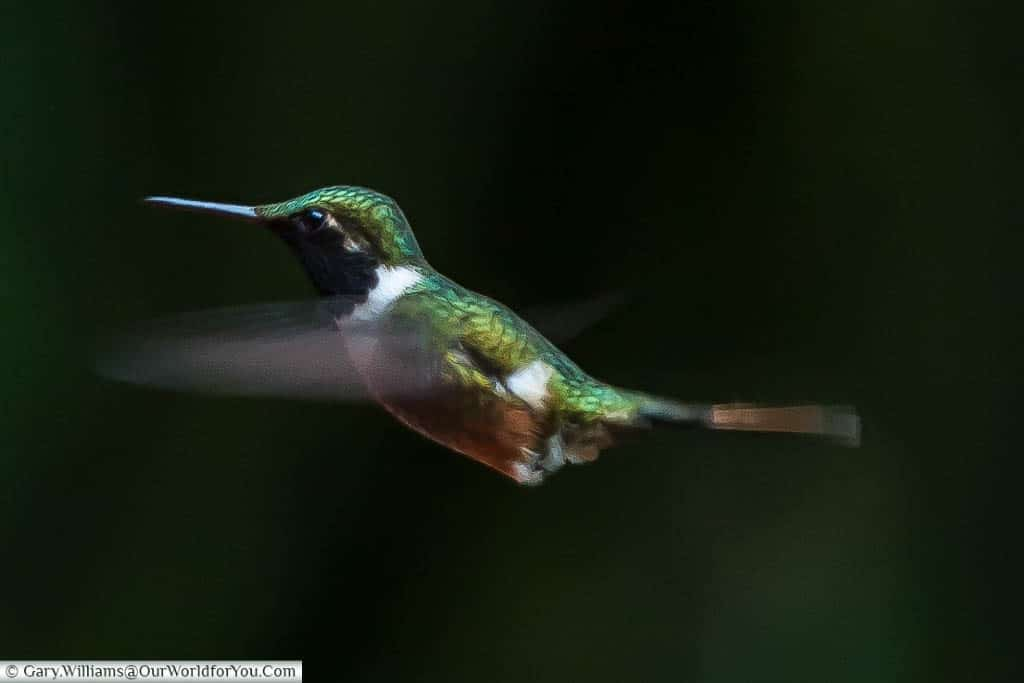 A hummingbird with its wings a blur as they beat at pace while feeding at a station in the Cloud Forest Reserve in Monteverde, Costa Rica.