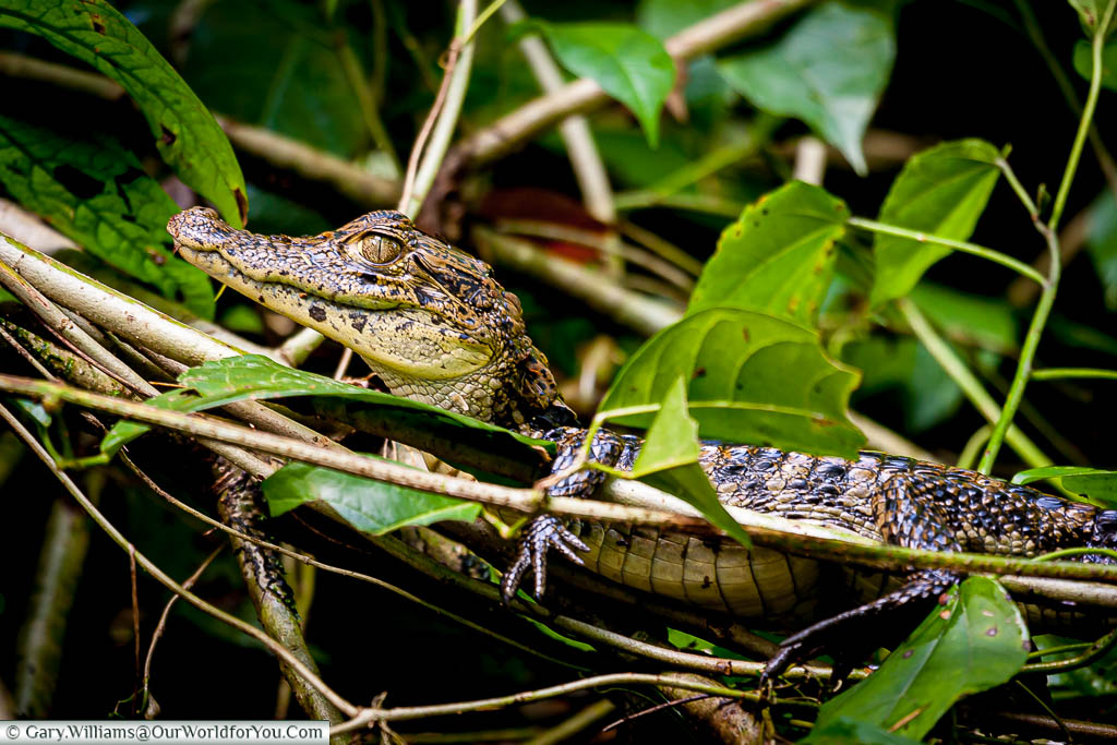A young Caiman resting, out of the water, in one of the channels that lead off the main lagoon at Tortuguero, Costa Rica