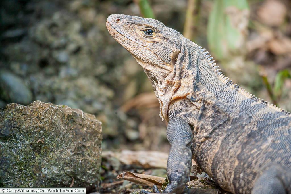 A black iguana, up close, on a beach in Manuel Antonio, Costa Rica
