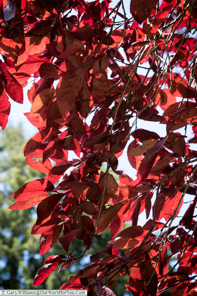 Red foliage catching the light in the grounds of Sandringham House, Norfolk